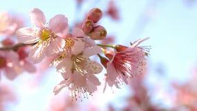Fleurs de cerisier de l'Himalaya sauvages Photo stock