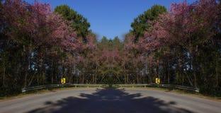 Fleurs de cerisier de l'Himalaya sauvages roses près de la route Photos stock
