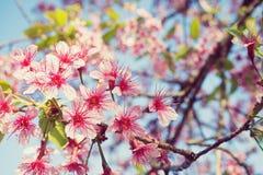 Fleurs de cerisier de la Thaïlande Photographie stock libre de droits