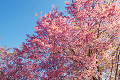 Fleurs de cerisier de la Thaïlande Photos stock