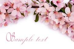 Fleurs de cerisier de ressort Photographie stock