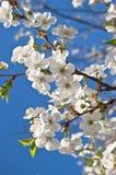 Fleurs de cerisier de ressort Images libres de droits