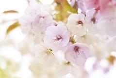 Fleurs de cerisier de ressort Photo libre de droits