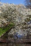 Fleurs de cerisier de ressort avec de belles fleurs blanches Photo stock