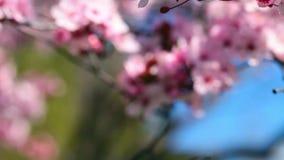 Fleurs de cerisier de ressort, fleurs roses banque de vidéos