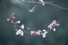 Fleurs de cerisier de ressort sur le fond bleu-vert Images stock