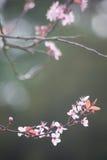 Fleurs de cerisier de ressort sur le fond vert Images libres de droits