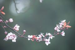 Fleurs de cerisier de ressort sur le fond vert Images stock