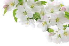 Fleurs de cerisier de source Photo libre de droits
