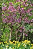 Fleurs de cerisier de source Images libres de droits