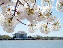 Fleurs de cerisier de Washington sur le fond de Jefferson Memorial Ma Images libres de droits