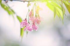 Fleurs de cerisier douces abstraites Photo stock