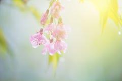 Fleurs de cerisier douces abstraites Photo libre de droits