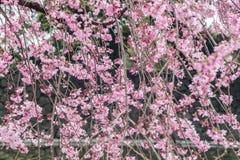 Fleurs de cerisier en mars, branche de Sakura au-dessus de fond d'étang, Tokyo, Japon Photographie stock