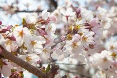Fleurs de cerisier en mars, branche de Sakura au-dessus de fond de ciel, Tokyo, Japon Photographie stock