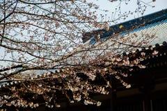 Fleurs de cerisier en mars, branche de Sakura au-dessus de fond de temple de Zojoji, Tokyo, Japon le 31 mars 2017 Image stock