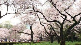 Fleurs de cerisier en parc d'Ueno à Tokyo, Japon Les fleurs de cerisier de visionnement sont une coutume japonaise Le parc d'Ueno banque de vidéos