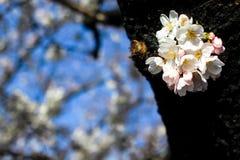 Fleurs de cerisier en parc d'ueno Photographie stock