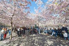 Fleurs de cerisier en parc Kungstradgarden Photos stock