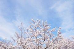 Fleurs de cerisier et ciel à Kyoto photo stock