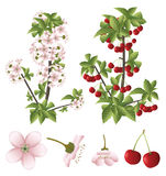 Fleurs de cerisier et fruits Images stock