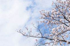 Fleurs de cerisier et le ciel à Kyoto photos libres de droits