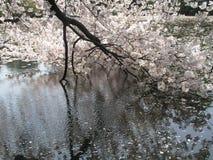 Fleurs de cerisier et les pétales sur l'eau Photographie stock