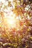 Fleurs de cerisier fleurissant au printemps fait photographie stock libre de droits