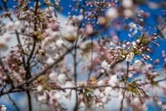 Fleurs de cerisier fleurissantes images stock