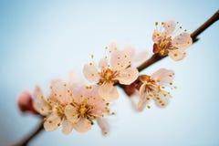 Fleurs de cerisier, fleurs de Sakura sur le fond blanc Photographie stock libre de droits