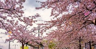 Fleurs de cerisier de floraison à la gare routière de Gothenburg, Suède Photo stock