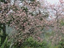Fleurs de fleurs de cerisier de forêt naturelle Photo libre de droits