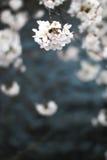Fleurs de cerisier Japon image libre de droits