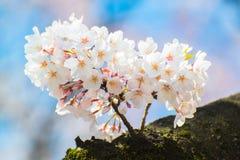 Fleurs de cerisier japonaises au printemps Photos stock