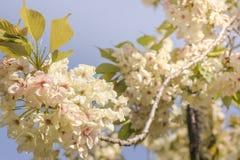 Fleurs de cerisier jaune pâle de parc d'Asukayama dans le Kita distric photos libres de droits