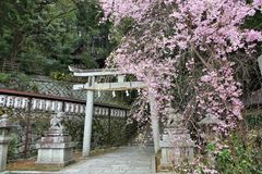 Fleurs de cerisier de Kyoto Photos stock