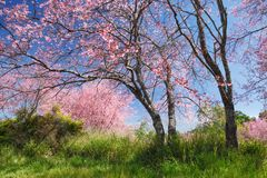 Fleurs de cerisier de l'Himalaya Image stock
