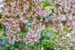 Fleurs de cerisier ou Sakura images stock