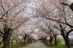 Fleurs de cerisier ou Sakura en parc de Tenshochi, ville de Kitakami, Japon Images libres de droits