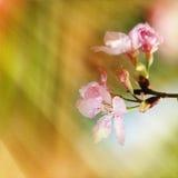 Fleurs de cerisier pendant la source Photo libre de droits