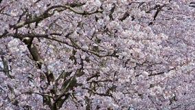 Fleurs de cerisier près de rue avec des voitures banque de vidéos
