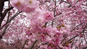 fleurs de cerisier de ressort de la vidéo 4k avec les fleurs roses vent et branches banque de vidéos