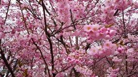 fleurs de cerisier de ressort de la vid?o 4k avec les fleurs roses vent et branches banque de vidéos