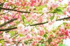 Fleurs de cerisier de ressort, fleurs roses Sakura image stock