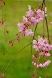 Fleurs de cerisier roses étroites au-dessus d'un fond vert Images libres de droits