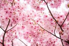 Fleurs de cerisier roses Image stock