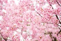 Fleurs de cerisier roses Image libre de droits