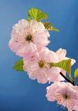 Fleurs de cerisier roses Photographie stock libre de droits