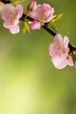 Fleurs de cerisier roses Photo libre de droits