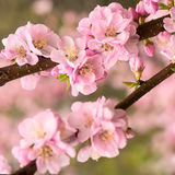Fleurs de cerisier roses Photo stock